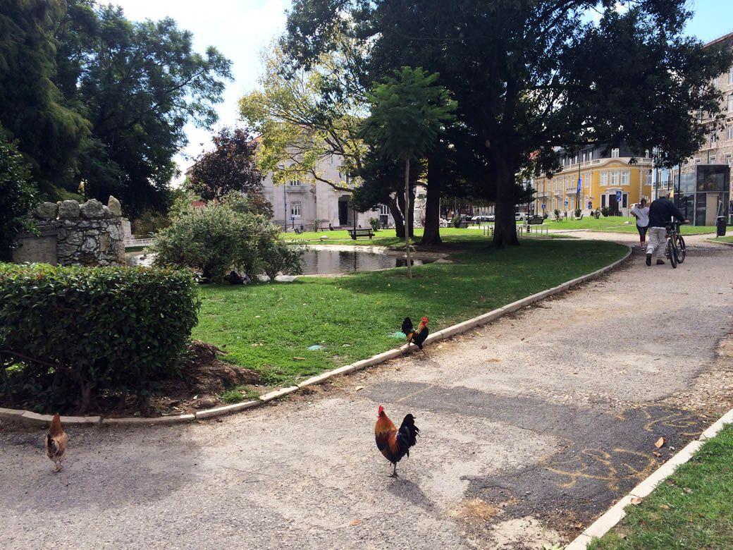 Петухи в парке в Лиссабоне, Португалия.