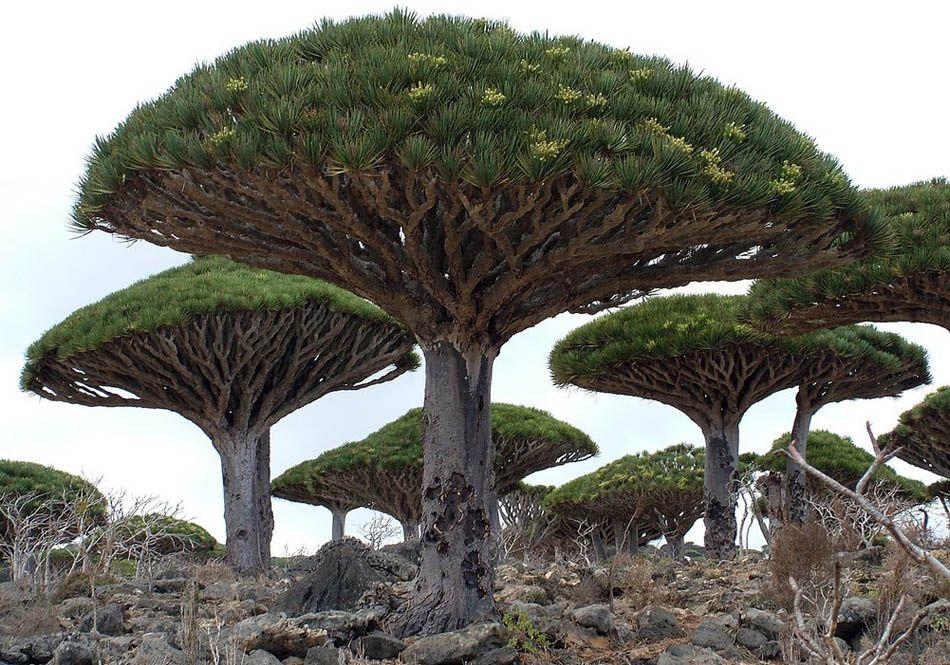 Драконово дерево, Тенерифе