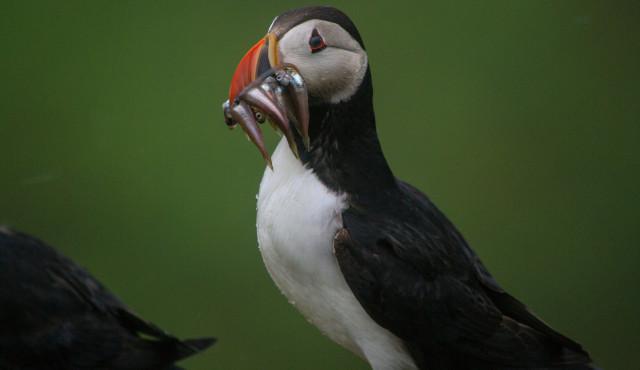 Фауна Фарерских островов